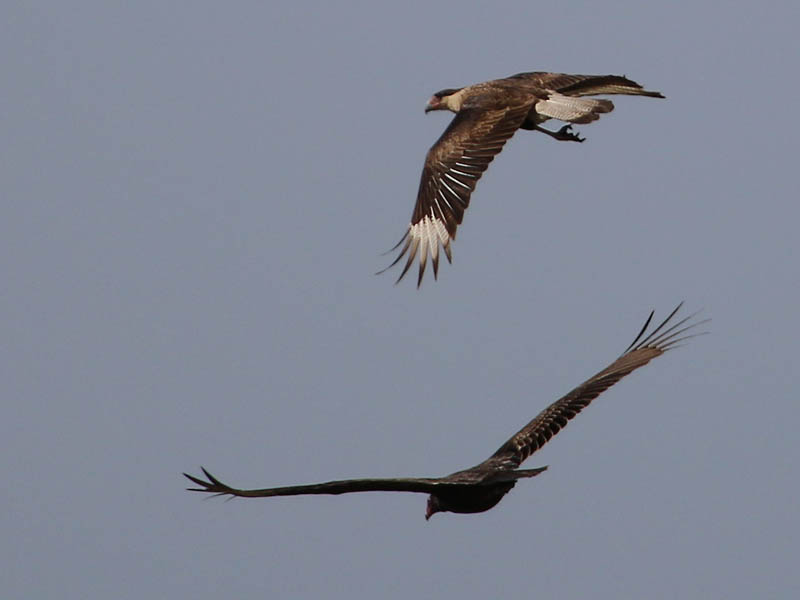 A Crested Caracara (top) flying with a Turkey Vulture (bottom).