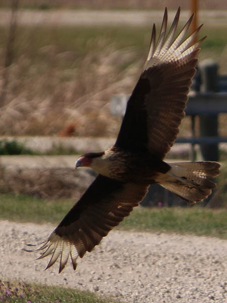 A Crested Caracara in flight.