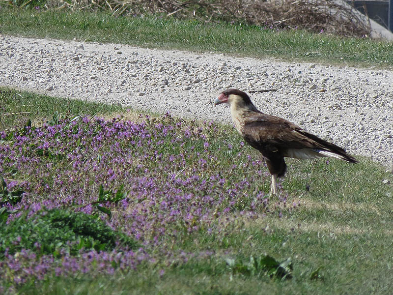 A Crested Caracara photographed in Kaufman County.