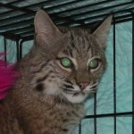Josey the Orphaned Bobcat Kitten - Update Three