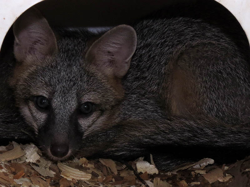 A young Gray Fox.
