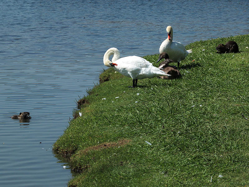 The Nutrias in this picture are feeding on bread left by park patrons.