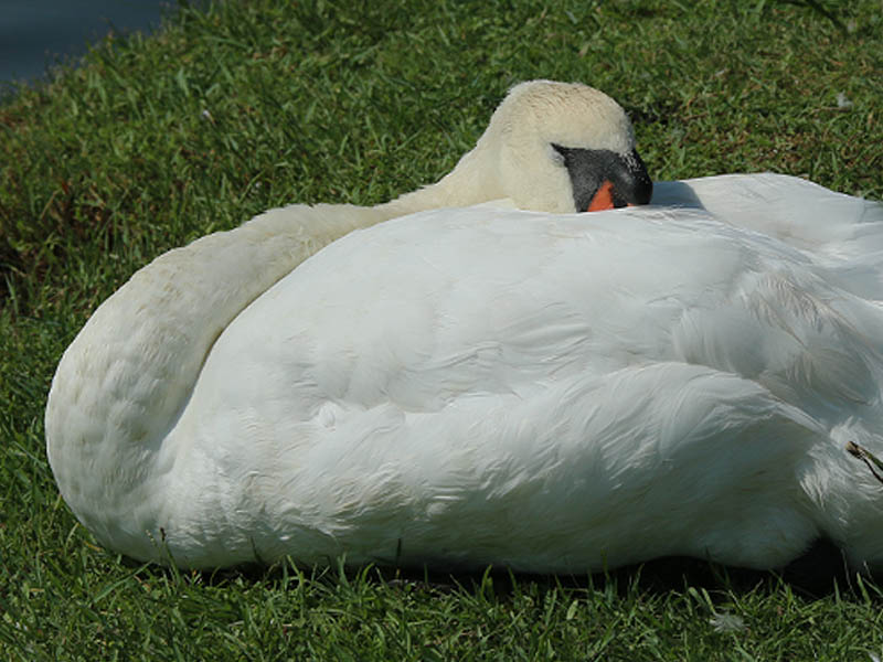 Mom swan dozing in the sun.