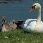 Mute Swan – Nest 2014 Update 15