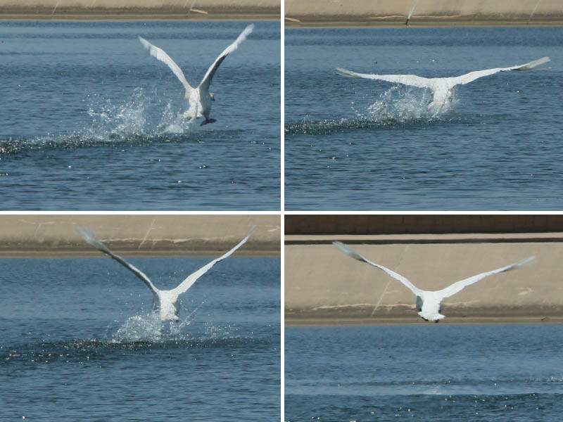 A takeoff sequence.  Getting airborne is not easy for a bird the size of a mute swan.