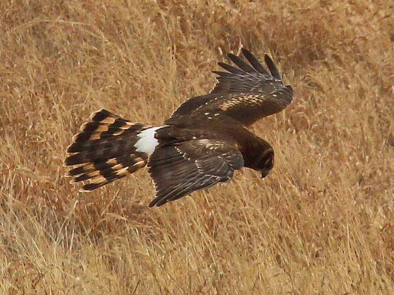 A female Northern Harrier hunting low to the ground.