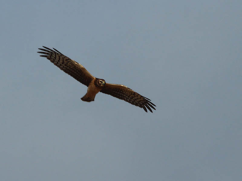 A female Northern Harrier in flight.