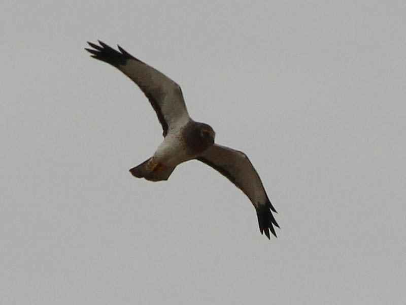 A male Northern Harrier.