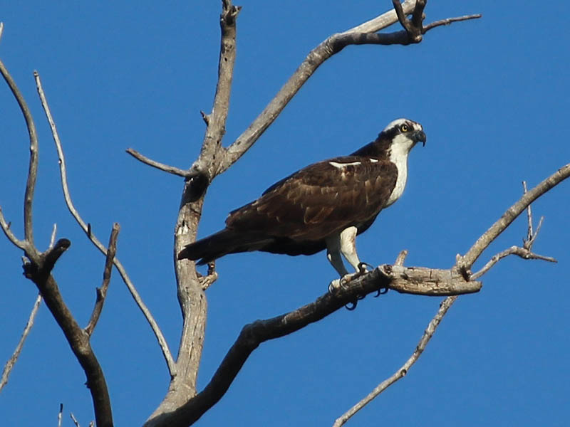 An Osprey watching for fish from his perch high on a dead tree.