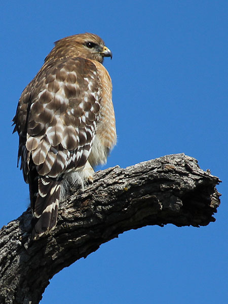 A Red-shouldered Hawk surveying his domain.