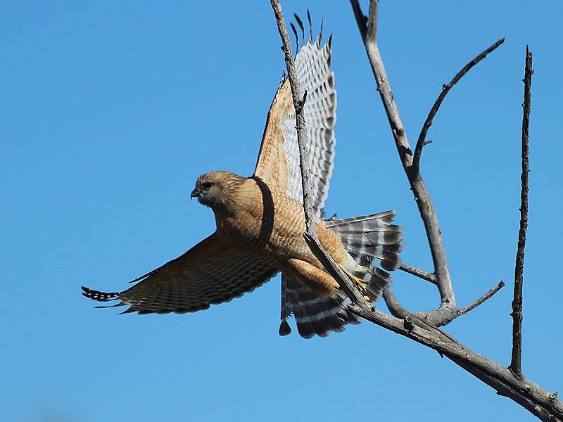 A young Red-shouldered Hawk taking flight.
