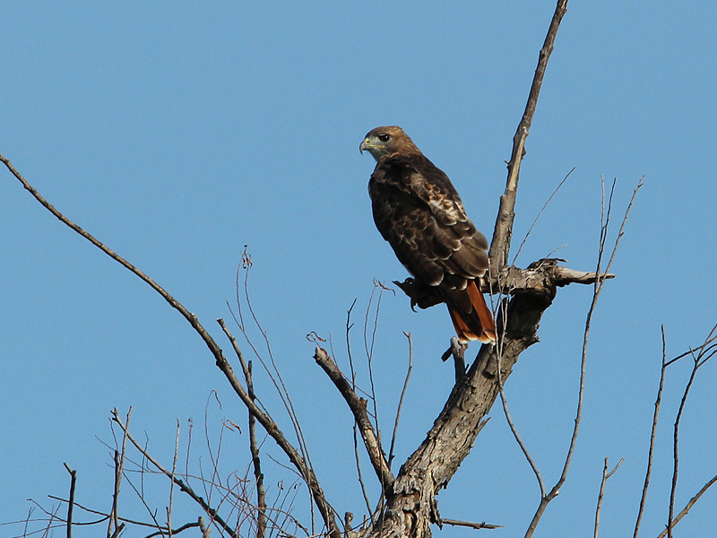 A Red-tailed Hawk clearly displaying its signature red tail.