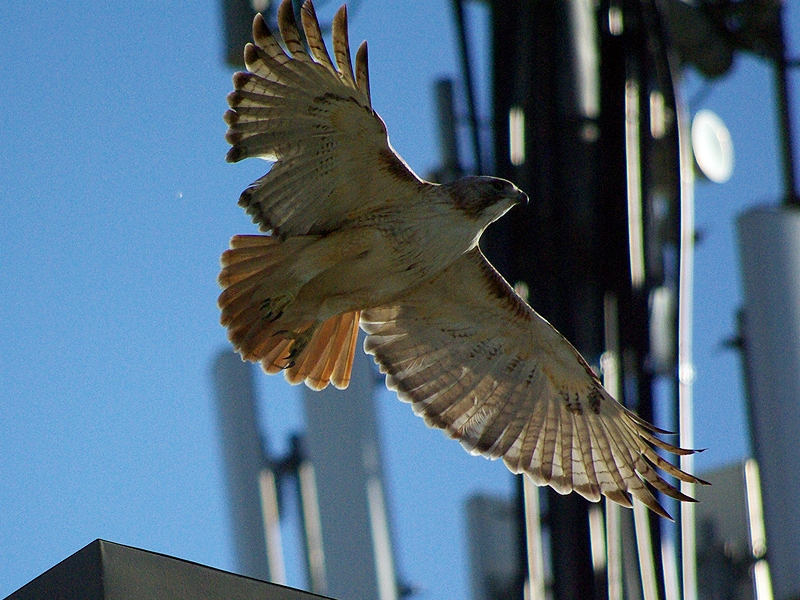 A Red-tailed Hawk photographed near its nest located atop a cell phone tower.