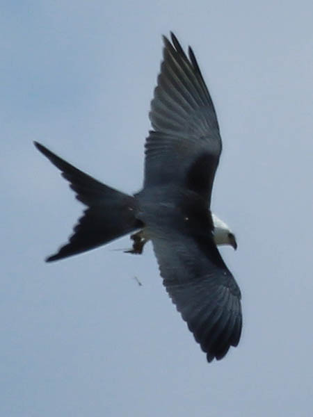 A Swallow-tailed Kite as seen from above.