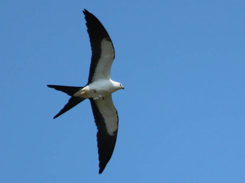 A Swallow-tailed Kite in flight.