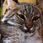 Josey The Orphaned Bobcat Kitten - Update Four