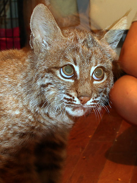Toby the extra fluffy Bobcat kitten.