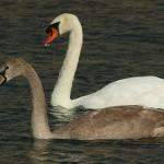 Mute Swan – Nest 2014 Update 17