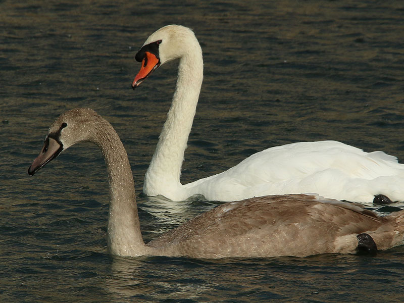 The cygnet with the adult male.
