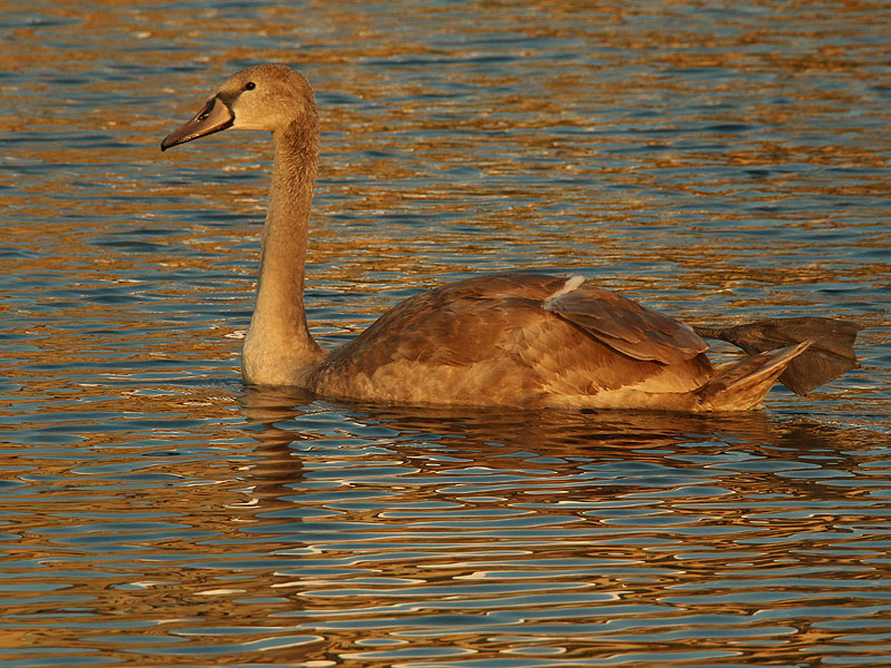 The cygnet at 16 weeks of age.