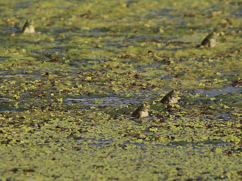 Juvenile bullfrogs.