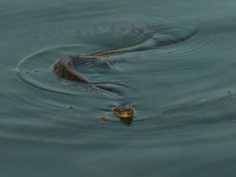 A Diamondback Water Snake swimming across the lake.