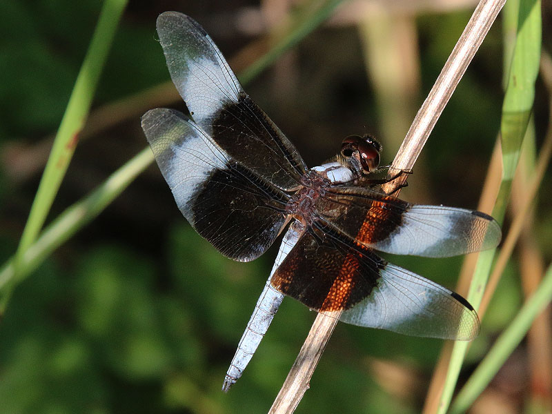 A male Widow Skimmer.