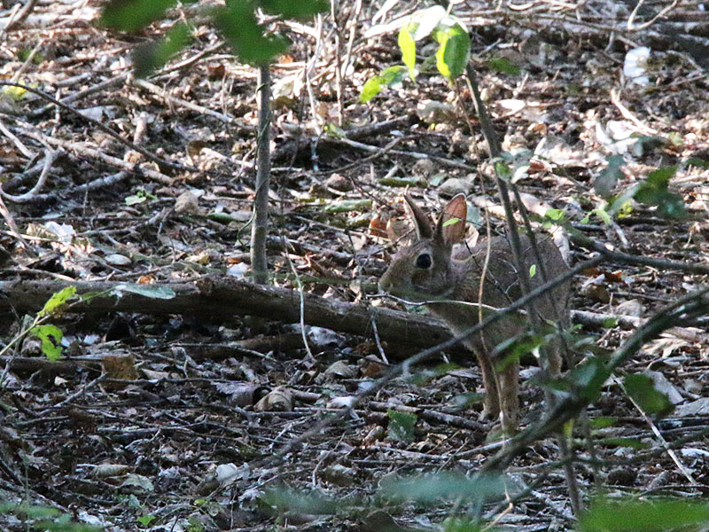 A cautious Eastern Cottontail making his way through the rookery.