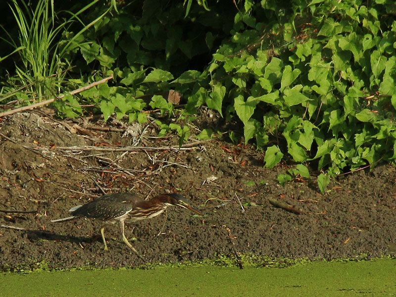 A Green Heron Hunting near the banks of a small pond.