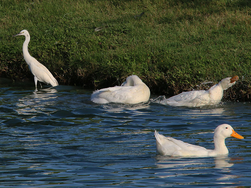 A Snowy Egret congregating with a trio of Pekin Ducks.