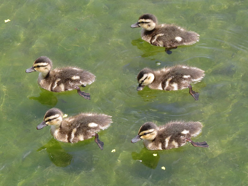 The ducklings were very active.