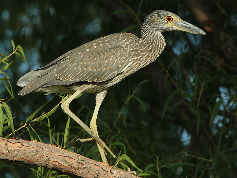 Yellow-crowned Night Herons are often very tolerant of observation.