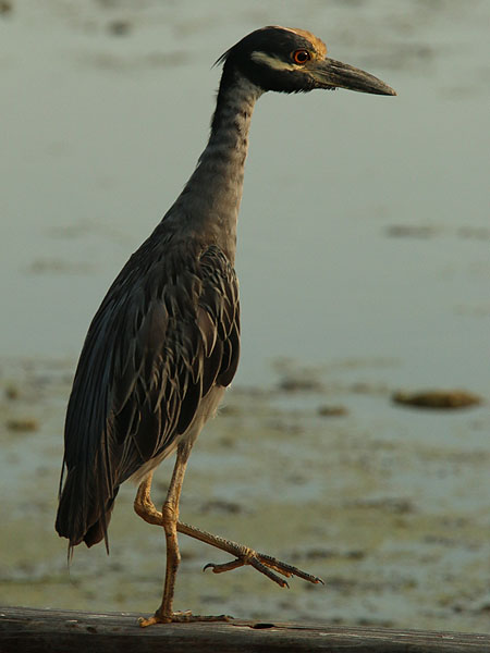 An adult Yellow-crowned Night Heron.