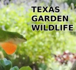 Texas Garden Wildlife - A Suburban Safari