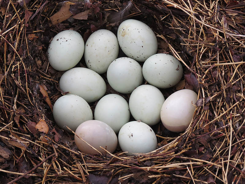 One dozen Mallard eggs.  The two off-color eggs at the bottom are infertile.