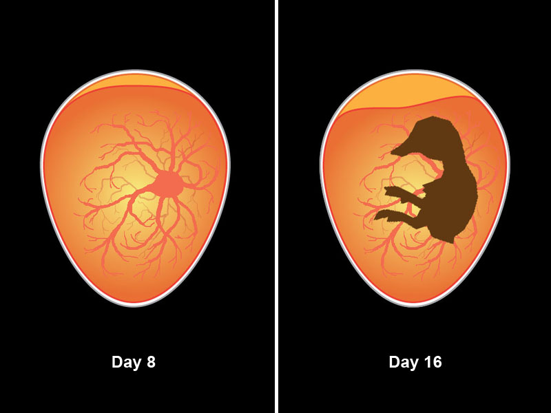 Embryo development through day 16.