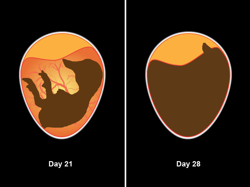 Embryo development from day 21 to just prior to hatching.