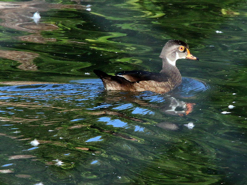 Wood Duck in eclipse.
