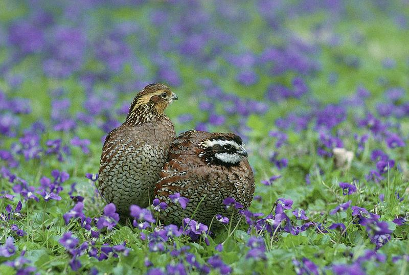 Northern Bobwhite.  Picture courtesy Wikimedia Commons.
