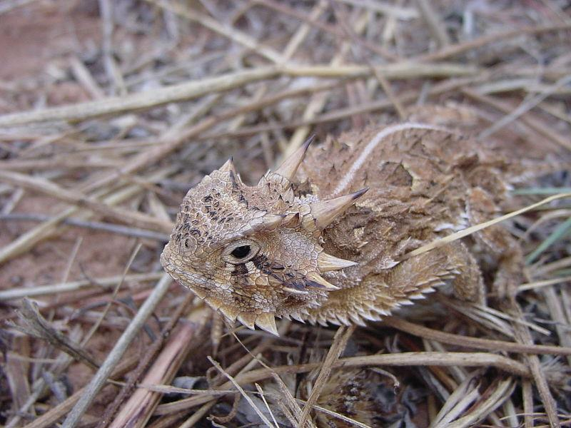Texas Horned Toad.  Picture courtesy Wikimedia Commons.
