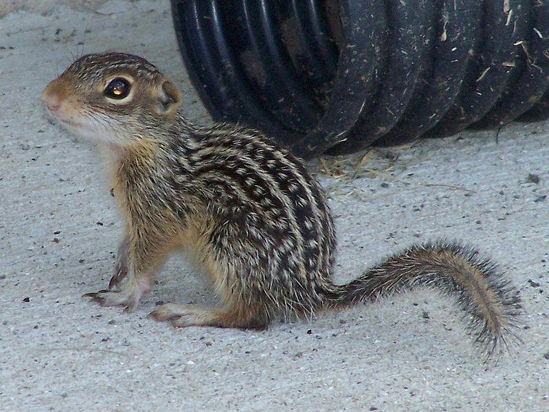 Thirteen-lined Ground Squirrel.  Picture courtesy Wikimedia Commons.