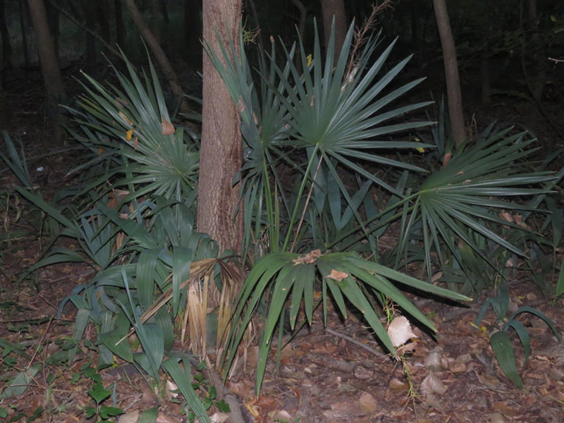 Dwarf Palmettos in the predawn darkness.