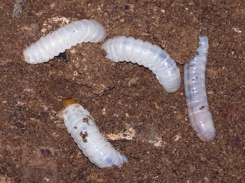 Betsy Beetle larvae.