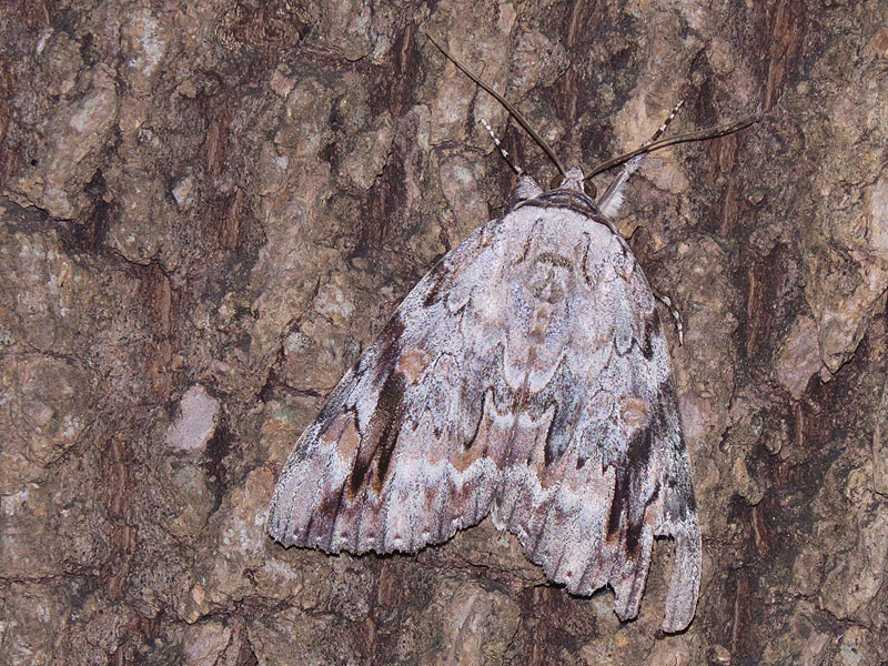 Sad Underwing  Moth with nearly perfect camouflage.