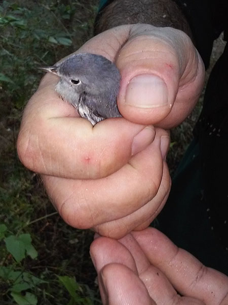A Blue-gray Gnatcatcher.   This little bird could not fly, but was strong and did not have an apparent injury.  He was released back into the woods.