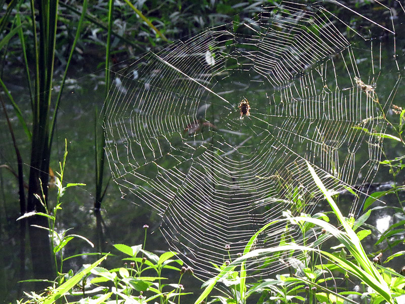 An orb weaver spider deep in the swamplands of the Bruton Bottoms.  This web was easily two feet in diameter.
