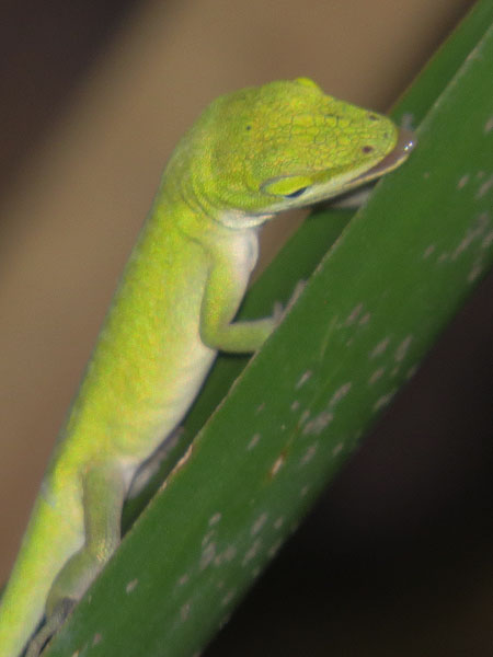 A young female Green Anole.