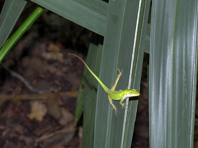 Green Anoles are active and engaging lizards.