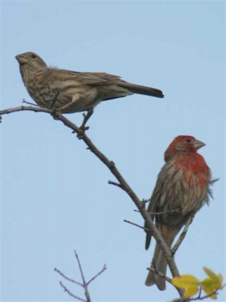 House Finches.  The male is to the right and the female is to the left.
