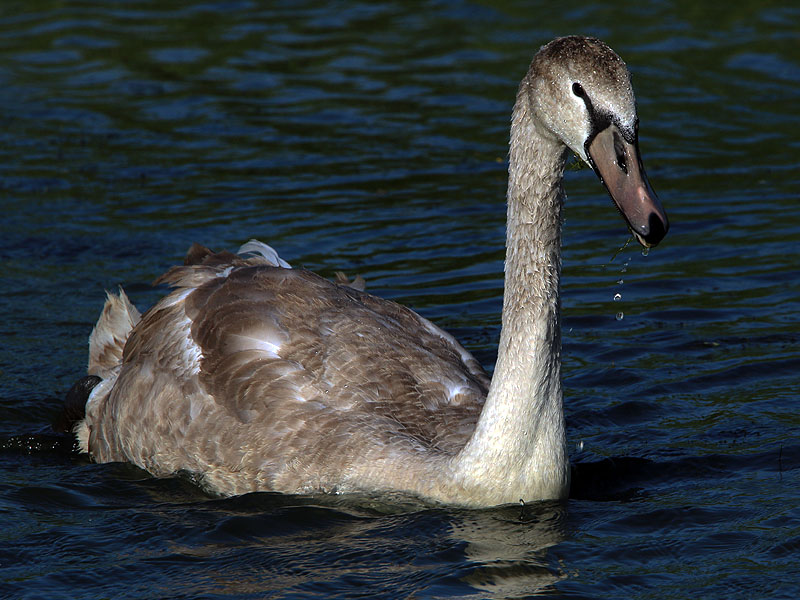 The cygnet at 18 weeks of age.